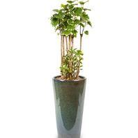 관엽식물 인디아